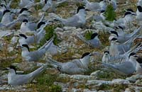 Black backed terns